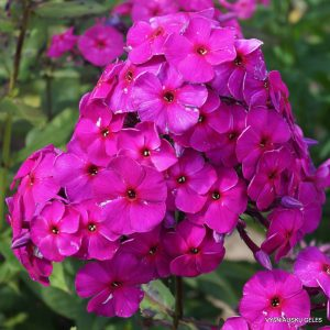 Phlox-'Purpurmantel'-1