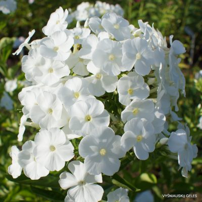 Phlox-'Snow-White'-1