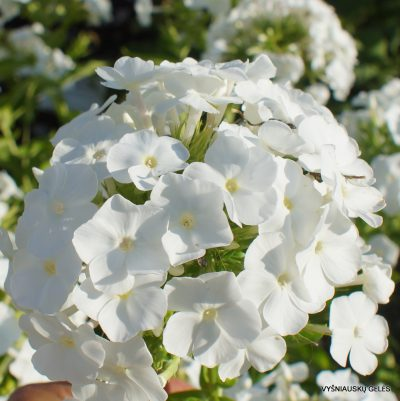 Phlox-'Snow-White'-2-1