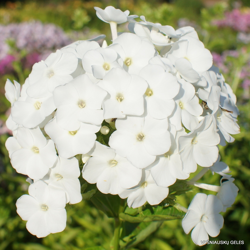 Phlox-'Snow-White'-3-1