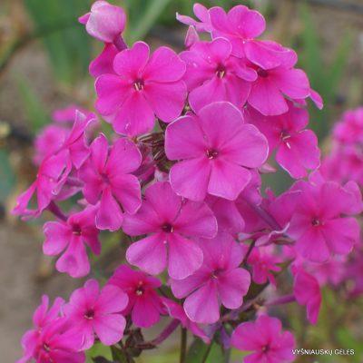 Phlox 'Pink Painting'