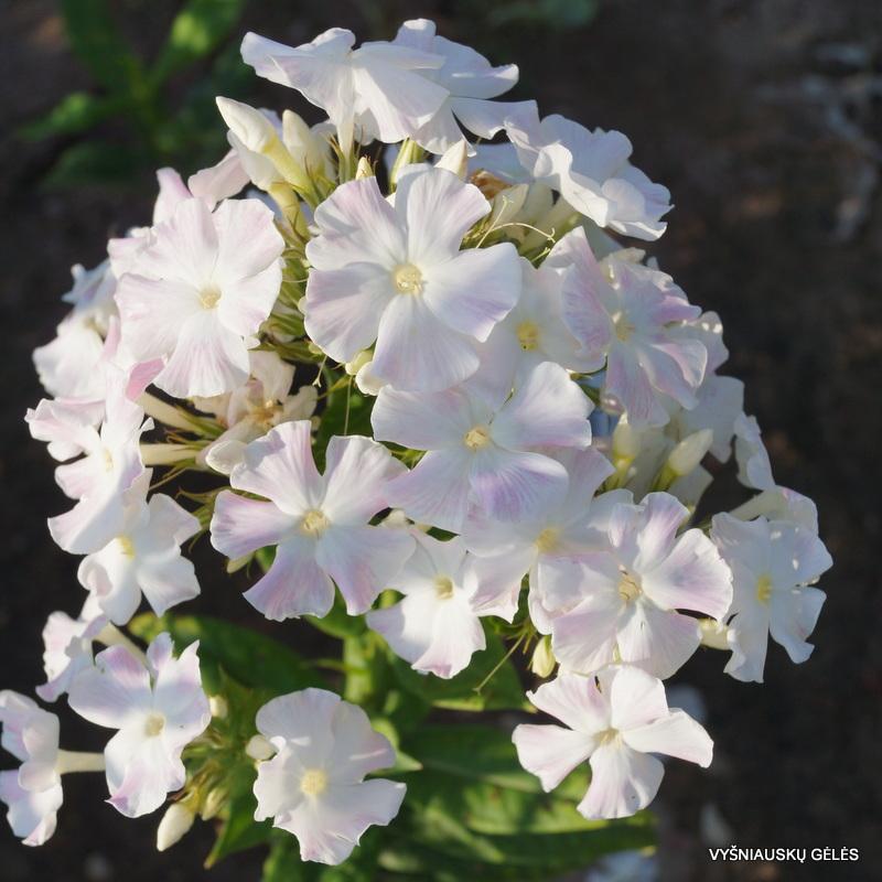 Phlox-paniculata-'Diana'-7