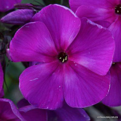 Phlox-paniculata-'Galchonok'-4