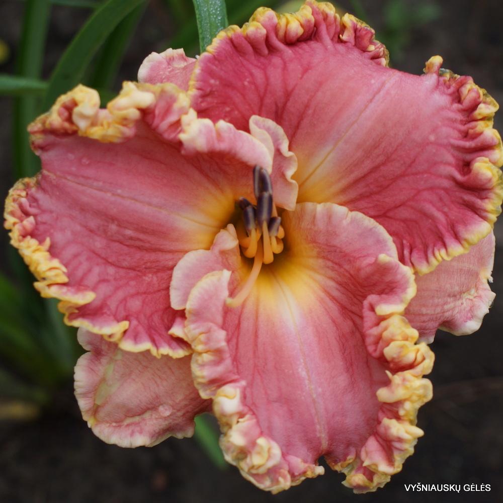 Viendienės 'Butterfly Ann' (3)