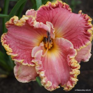 Viendienės 'Butterfly Ann'
