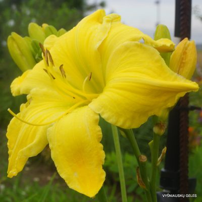 daylily-'Strung-Out'