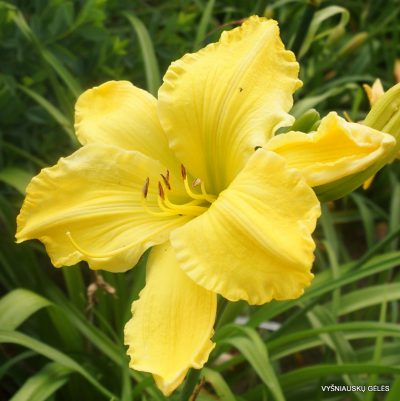 daylily-'Strung-Out'2