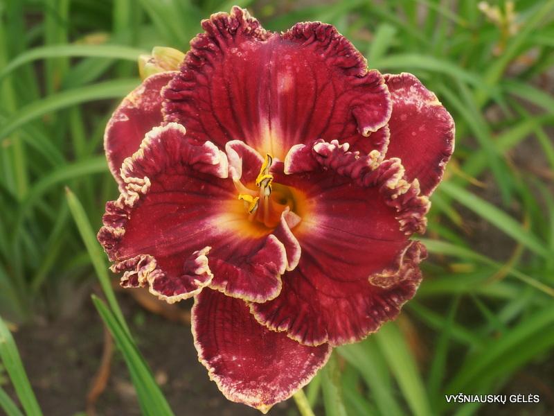 daylily-'Wild-Irish' (2)