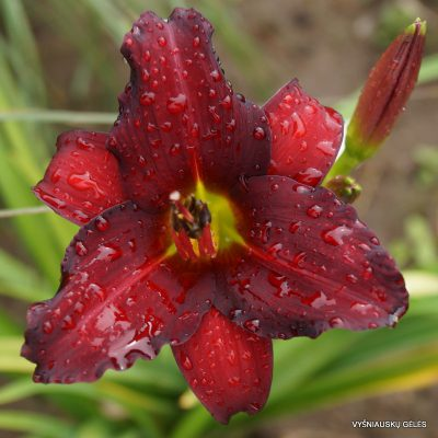 daylily-Arterial-Blood