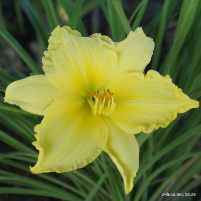 daylily-Big-Time-Happy