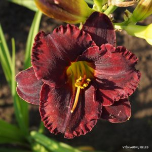 daylily-Black-Velvet-Baby