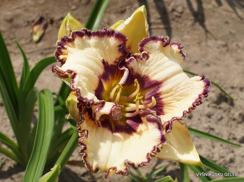 daylily-Bluegrass-Music-2