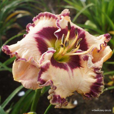 daylily-Born-to-be-Wild