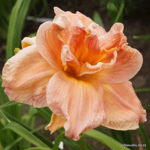 daylily-Carolina-Coastal-Breeze