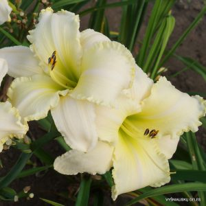 daylily-Carolina-Sugar-Daddy-1