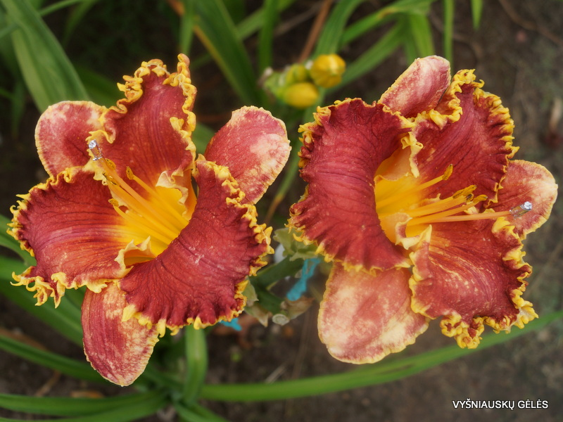 daylily-Cast-Your-Crown-2