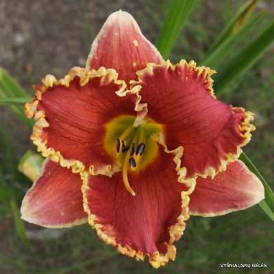 daylily-Cast-Your-Crown