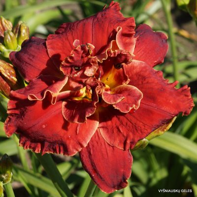 daylily-Celestial-Red-Hots-1