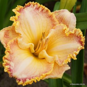 daylily-Competitive-Edge-1