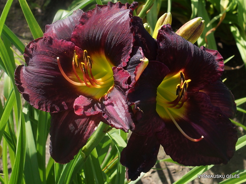 daylily-Dark-Empire-2