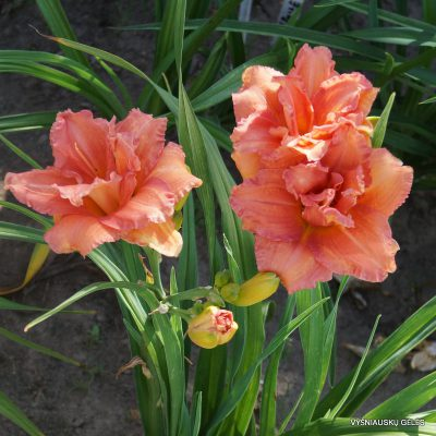 daylily-Double-Dribble-2