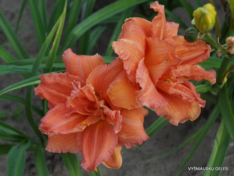 daylily-Double-Dribble-3