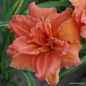 daylily-Double-Dribble