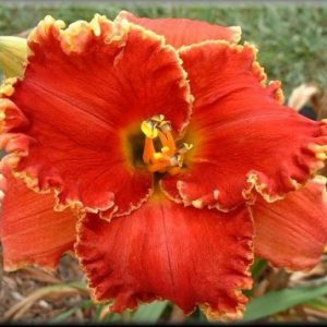 daylily-Dragon-Slayer