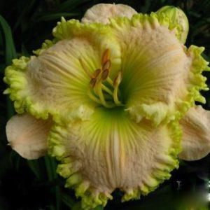 daylily-Emerald-Lace