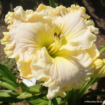 daylily-Fancy-Lace-1