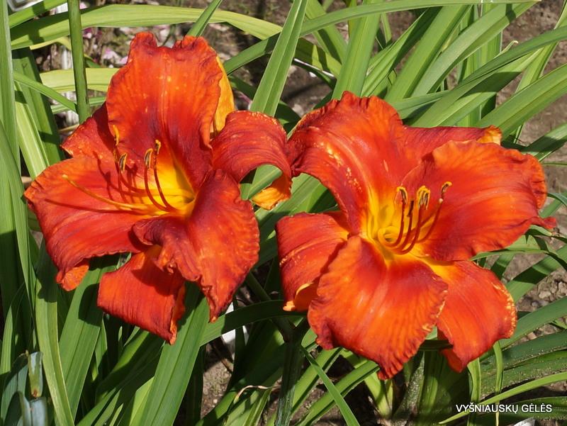 daylily-Flaming-Flamingo-1