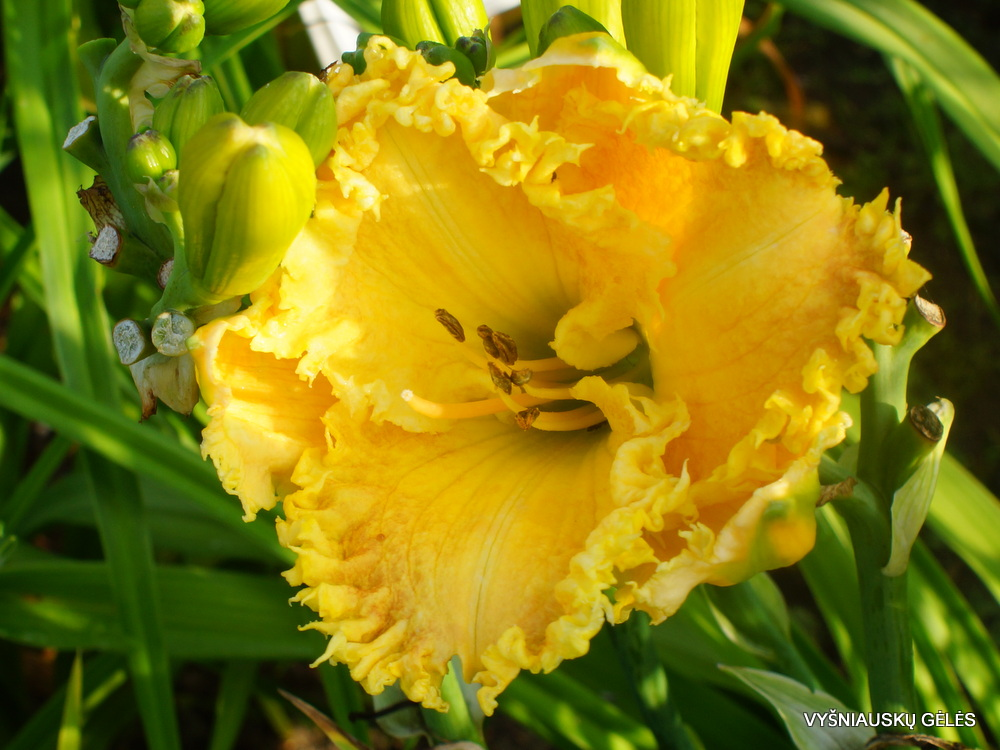 daylily-Forestlake-Briar-Patch (2)