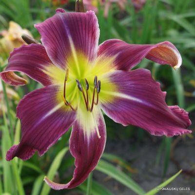 daylily-Garden-Butterfly-1