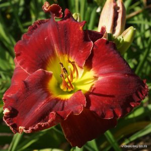 daylily-Glory-in-Red-1