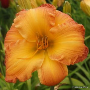 daylily-Going-Home-to-Georgia-1