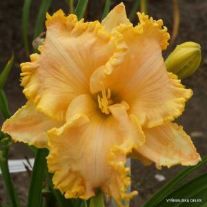 daylily-Golden-Tentacles