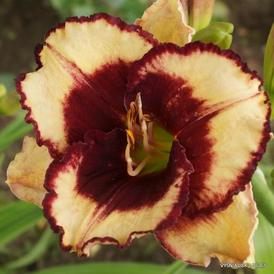 daylily-Greywoods-Lips-a-Quiver