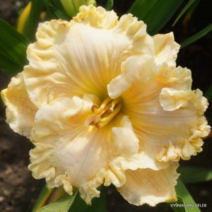 daylily-Heavens-Majesty-1