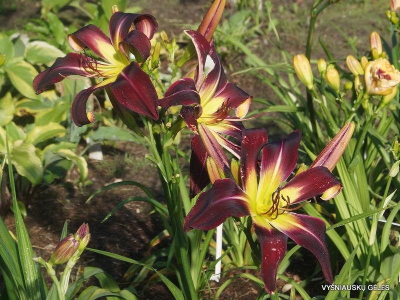 daylily-Humungousaur-3