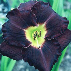 daylily-Indigo-Velvet