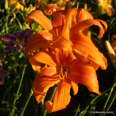 daylily-King-Crab-2