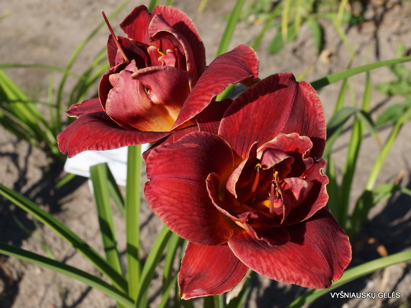 daylily-Layers-of-Love-3