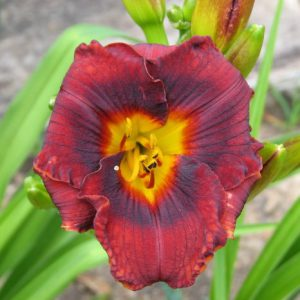 daylily-Mahogany-Magic