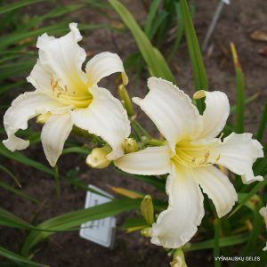 daylily-Margo-Reed-Indeed-1