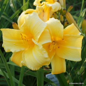 daylily-Mary-Todd-1