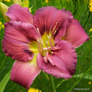 daylily-Michaels-Sword-1
