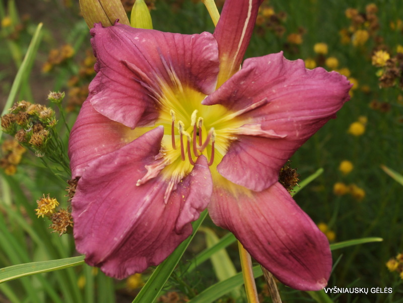 daylily-Michaels-Sword-3