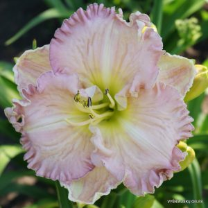 daylily-Musical-Medley-2