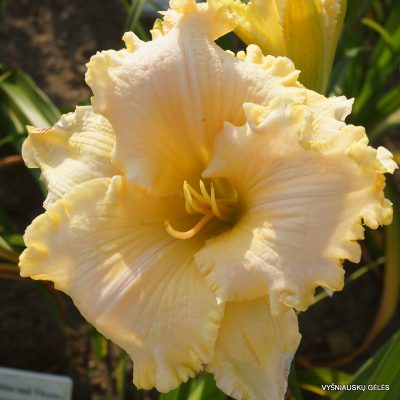 daylily-My-Utmost-for-His-Highest 1