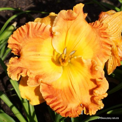 daylily-Over-Heated-2